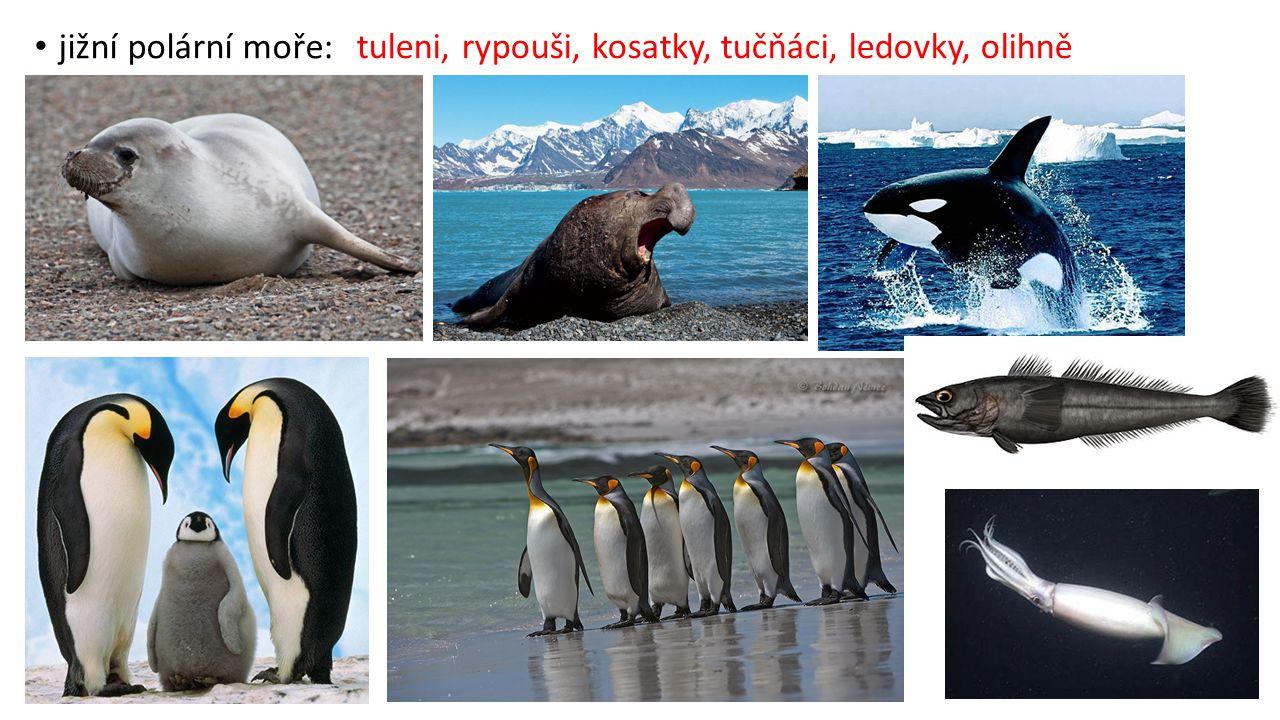 jižní polární moře: tuleni, rypouši, kosatky, tučňáci, ledovky, olihně