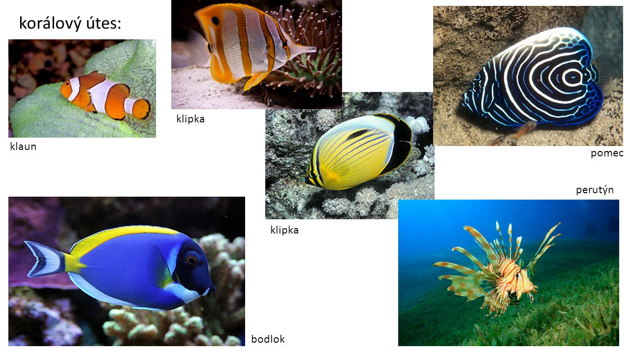 korálový útes: klaun klipka pomec perutýn bodlok