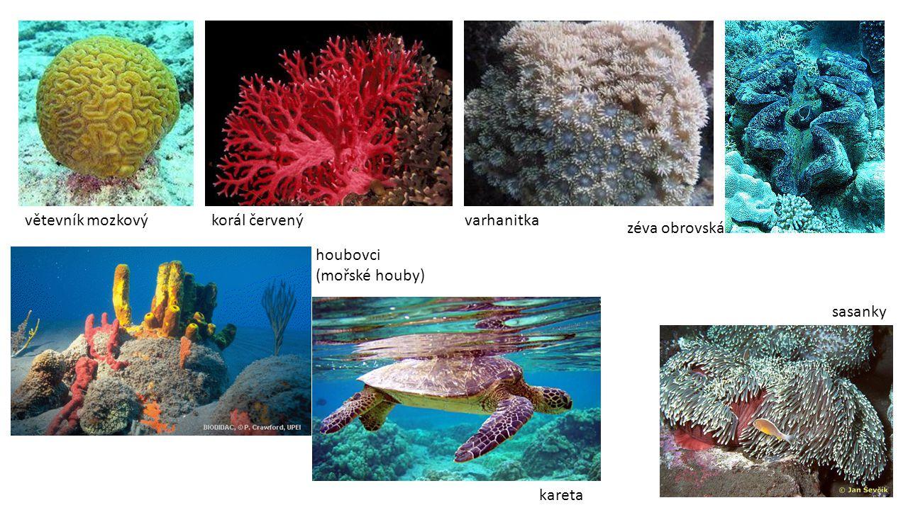 větevník mozkovýkorál červený houbovci (mořské houby) varhanitka sasanky zéva obrovská kareta