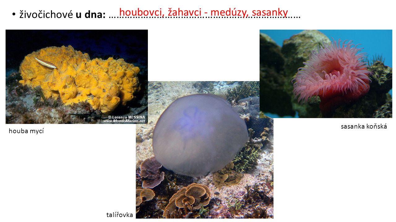 živočichové u dna: ……………………………………………………………… houba mycí talířovka sasanka koňská houbovci, žahavci - medúzy, sasanky