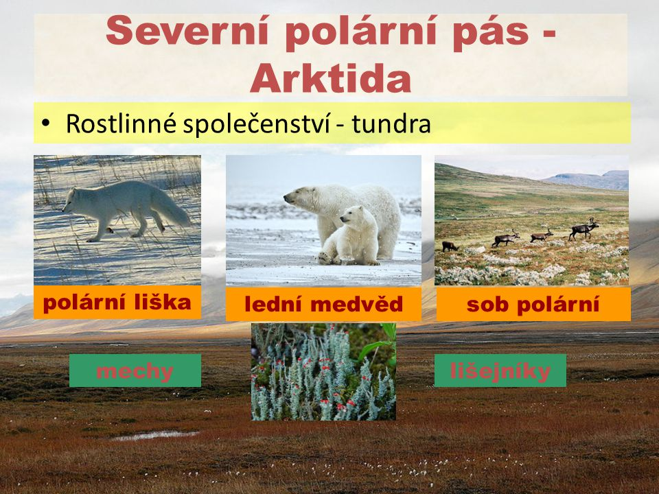 Severní polární pás - Arktida lední medvěd Rostlinné společenství - tundra sob polární polární liška mechylišejníky