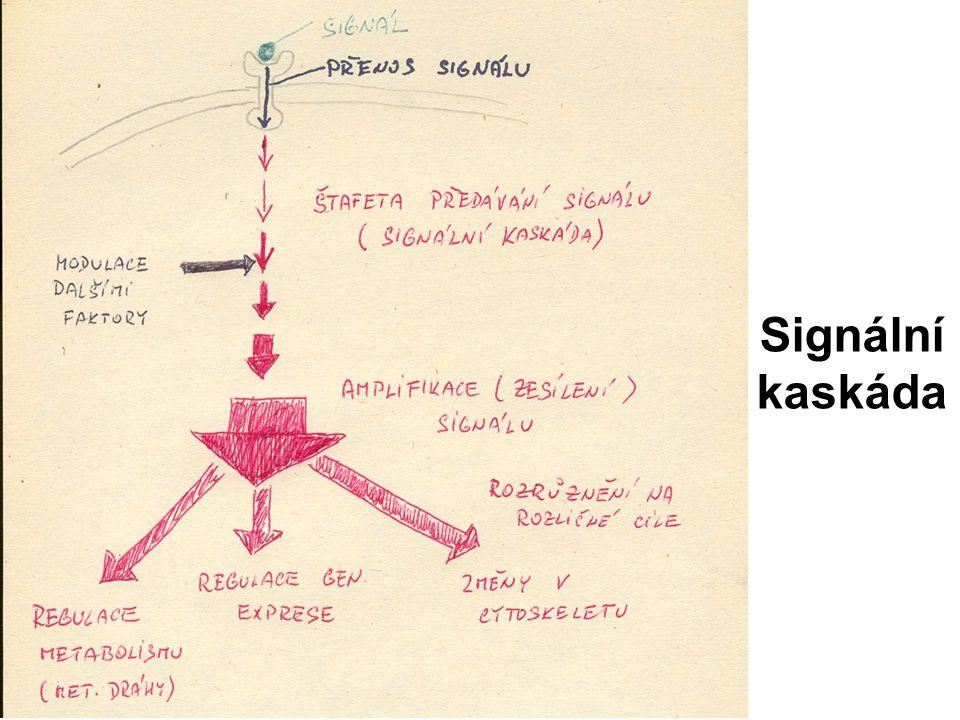 Signální kaskáda