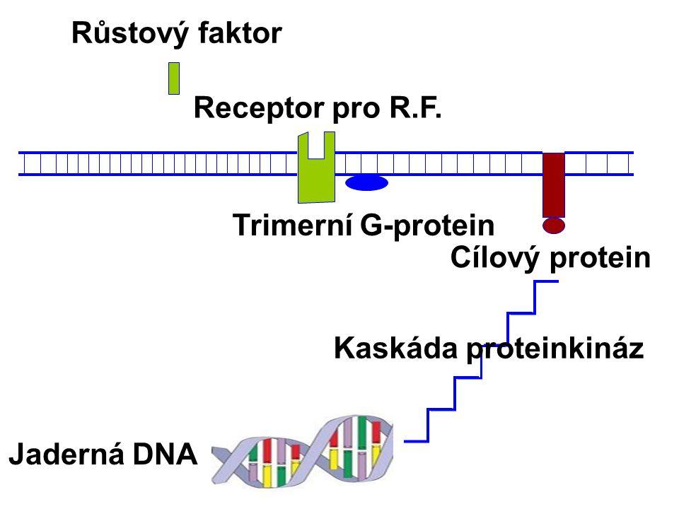Růstový faktor Receptor pro R.F. Trimerní G-protein Cílový protein Kaskáda proteinkináz Jaderná DNA