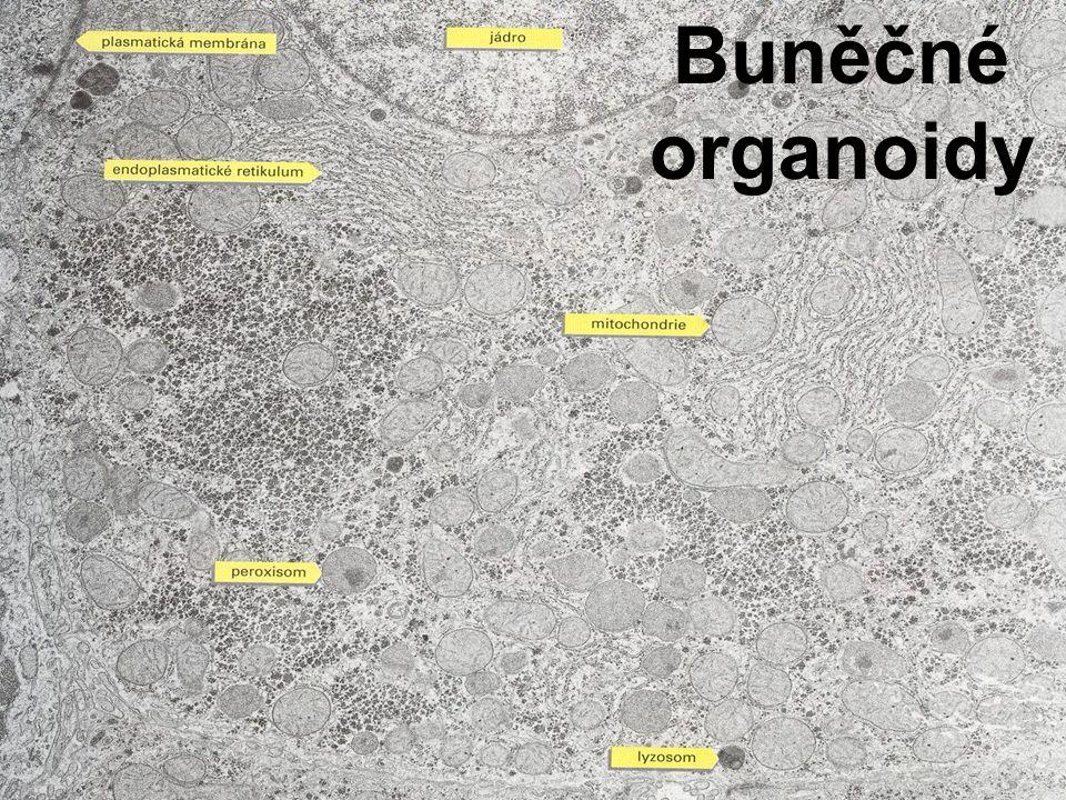 Buněčné organoidy