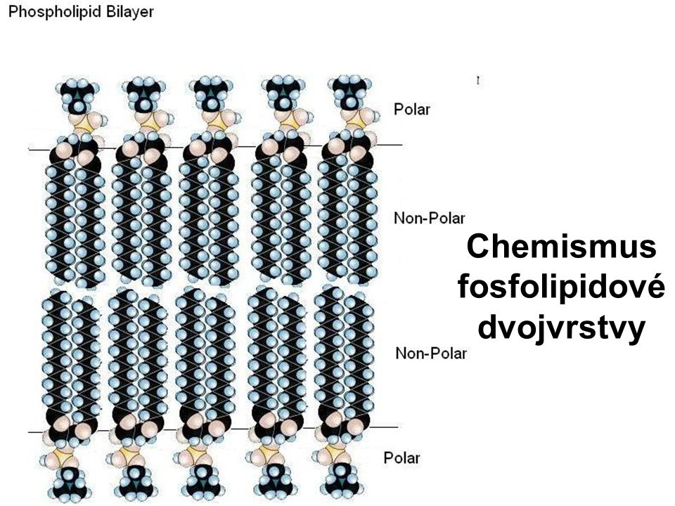 Chemismus fosfolipidové dvojvrstvy