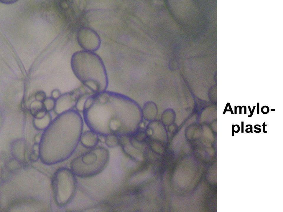 Amylo- plast