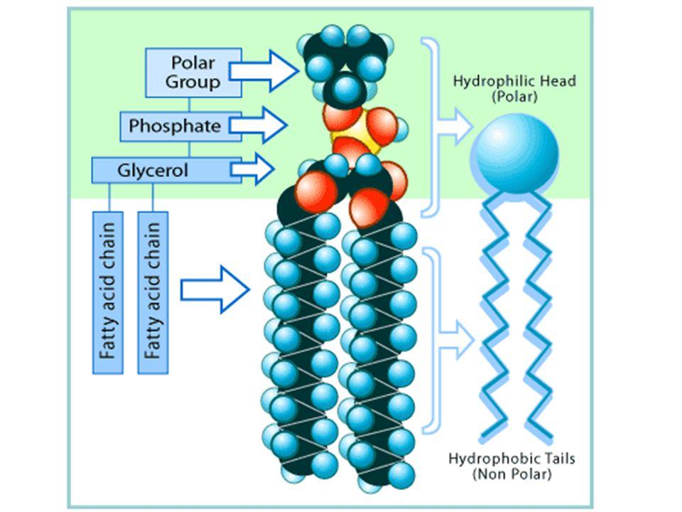 Struktura fosfolipidu