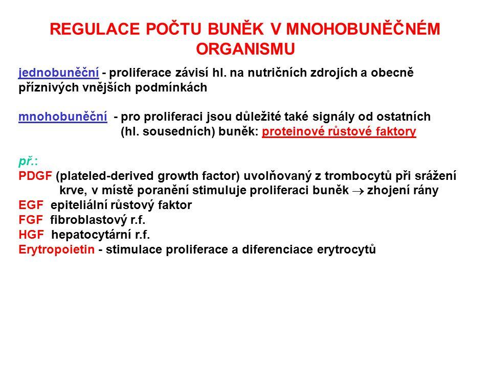 REGULACE POČTU BUNĚK V MNOHOBUNĚČNÉM ORGANISMU jednobuněční - proliferace závisí hl. na nutričních zdrojích a obecně příznivých vnějších podmínkách mn