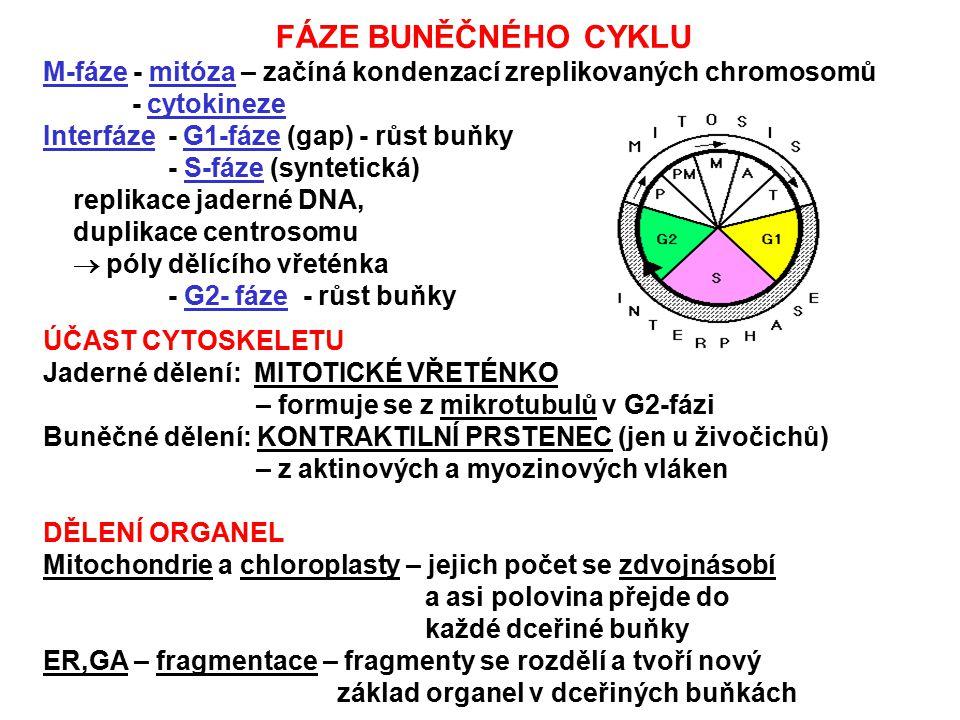 FÁZE BUNĚČNÉHO CYKLU M-fáze - mitóza – začíná kondenzací zreplikovaných chromosomů - cytokineze Interfáze - G1-fáze (gap) - růst buňky - S-fáze (synte