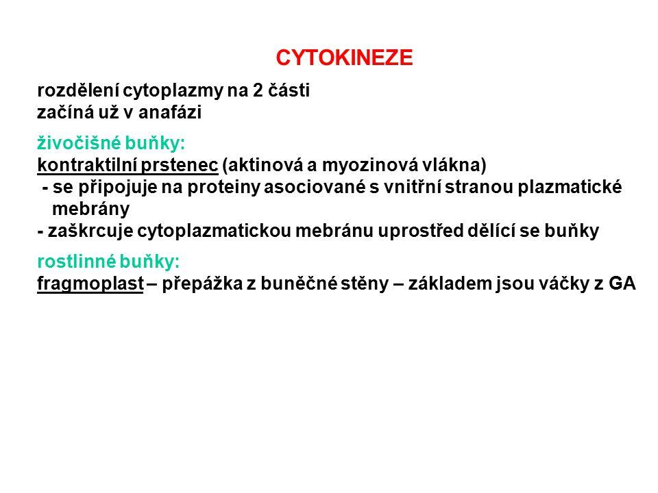 CYTOKINEZE rozdělení cytoplazmy na 2 části začíná už v anafázi živočišné buňky: kontraktilní prstenec (aktinová a myozinová vlákna) - se připojuje na