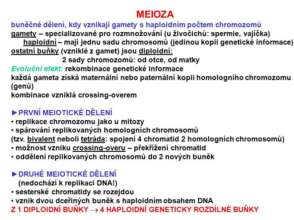 MEIOZA buněčné dělení, kdy vznikají gamety s haploidním počtem chromozomů gamety – specializované pro rozmnožování (u živočichů: spermie, vajíčka) hap