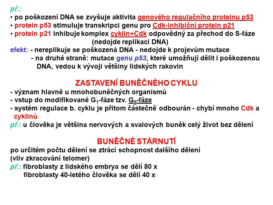 př.: po poškození DNA se zvyšuje aktivita genového regulačního proteinu p53 protein p53 stimuluje transkripci genu pro Cdk-inhibiční protein p21 prote
