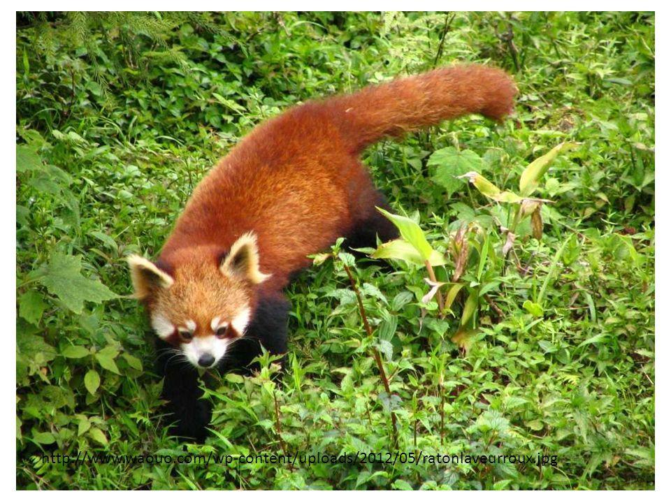 http://www.waouo.com/wp-content/uploads/2012/05/ratonlaveurroux.jpg