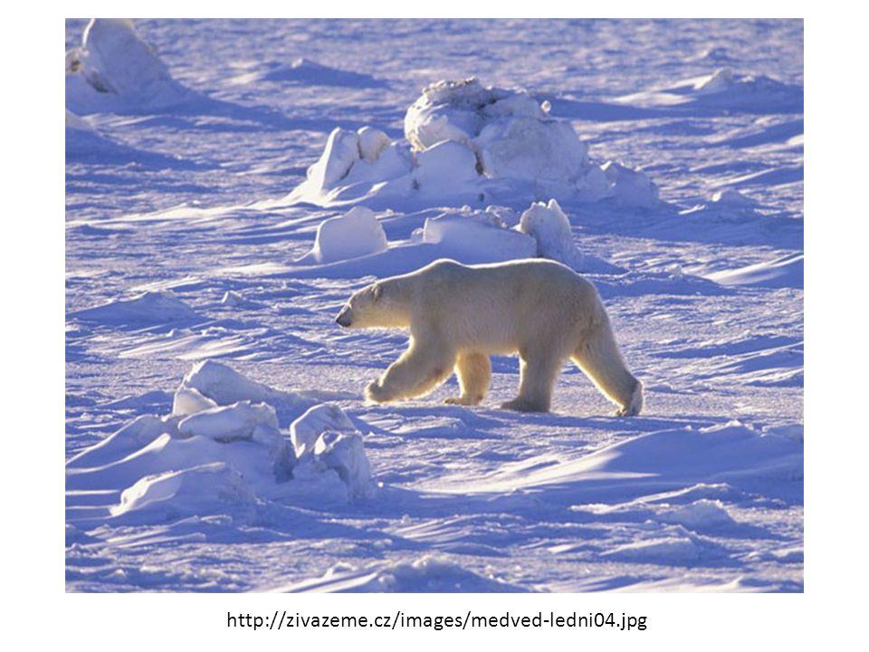 http://img.abicko.cz/img/5/article/459103_ledni-medved-medvedi.jpg