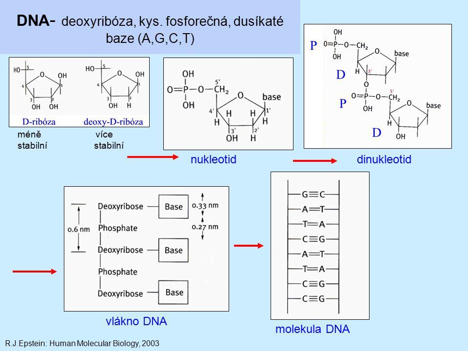 DNA - deoxyribóza, kys. fosforečná, dusíkaté baze (A,G,C,T) nukleotiddinukleotid vlákno DNA molekula DNA méně více stabilní R.J.Epstein: Human Molecul