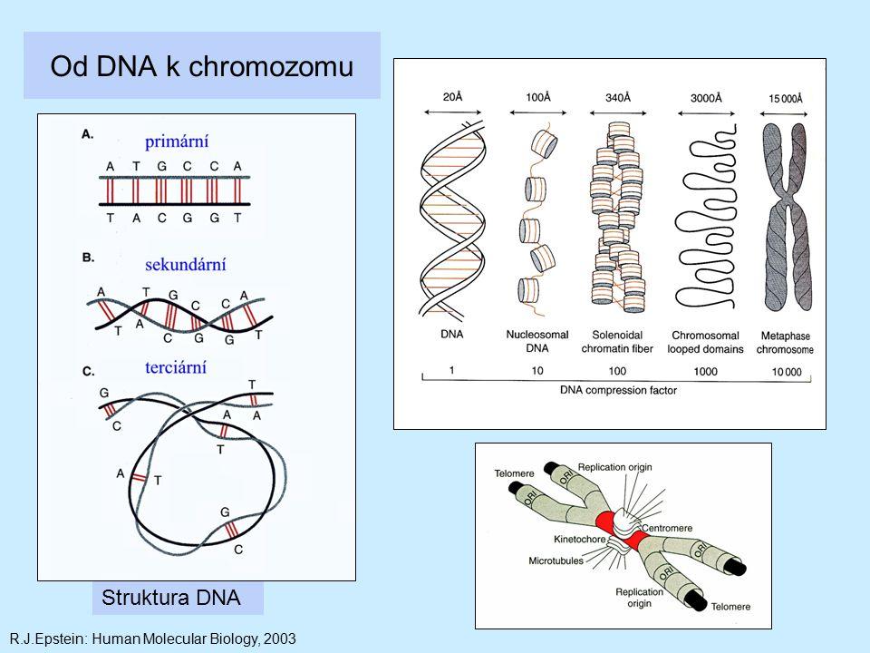 Od DNA k chromozomu Struktura DNA R.J.Epstein: Human Molecular Biology, 2003