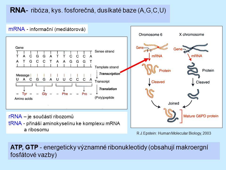 RNA- ribóza, kys. fosforečná, dusíkaté baze (A,G,C,U) mRNA - informační (mediátorová) rRNA – je součástí ribozomů tRNA - přináší aminokyselinu ke komp