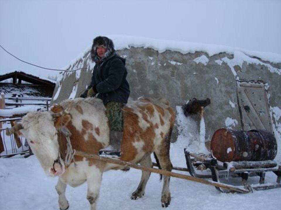 Lidé k různým účelům používají krávy.