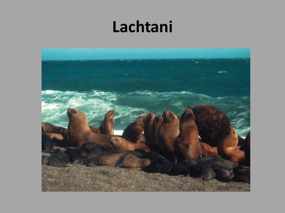 Lachtani