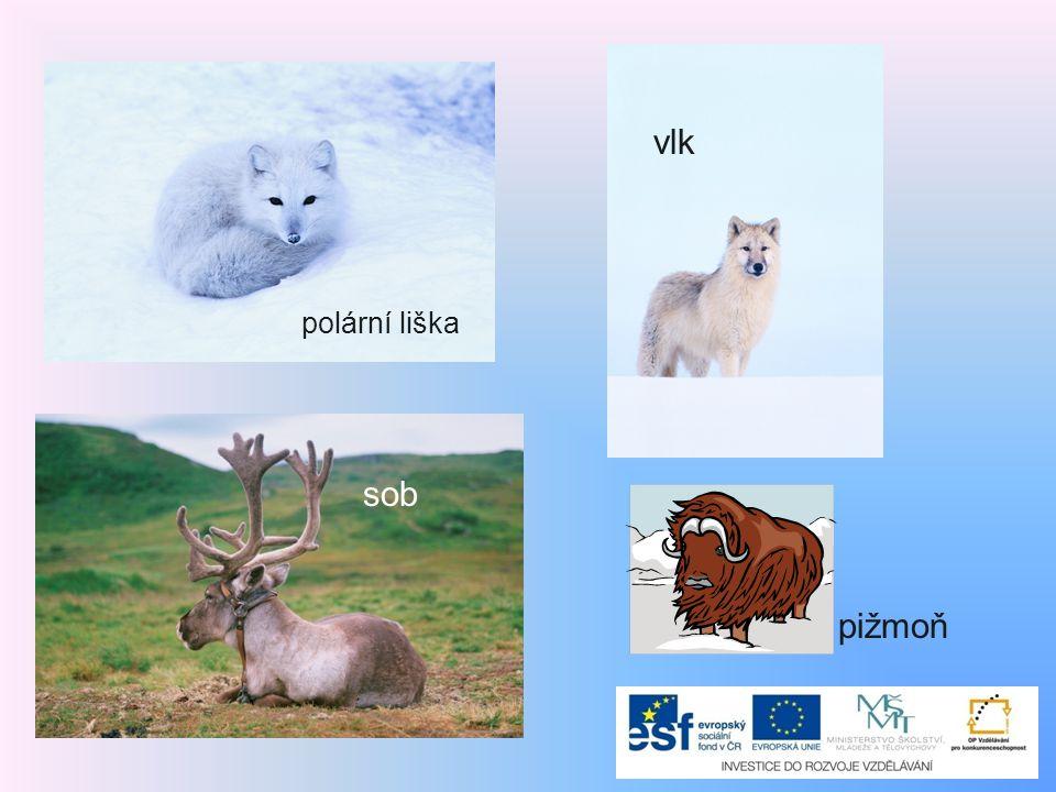 polární liška vlk sob pižmoň