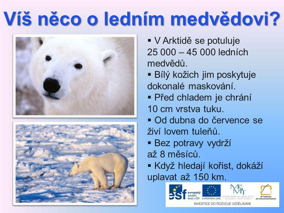 Víš něco o ledním medvědovi?  V Arktidě se potuluje 25 000 – 45 000 ledních medvědů.  Bílý kožich jim poskytuje dokonalé maskování.  Před chladem j