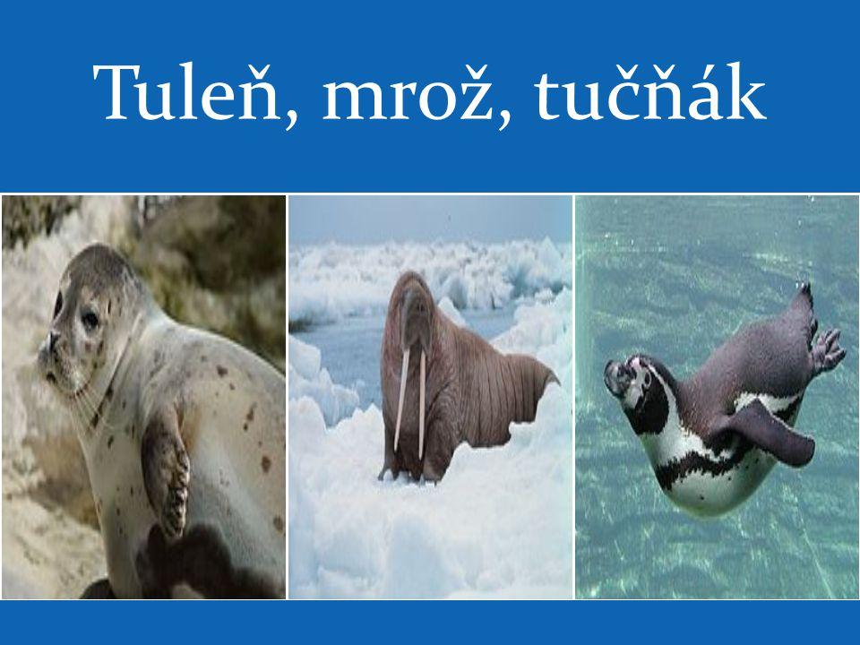 Tuleň, mrož, tučňák