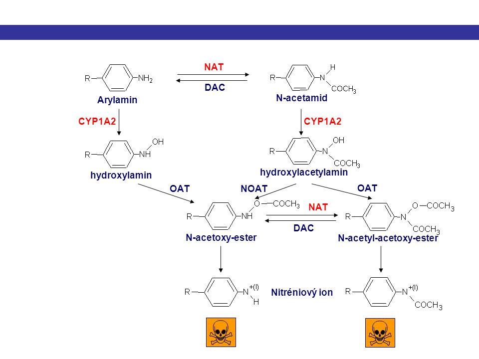 NAT CYP1A2 hydroxylamin hydroxylacetylamin Arylamin N-acetamid N-acetoxy-ester N-acetyl-acetoxy-ester Nitréniový ion DAC NAT DAC OAT NOATOAT