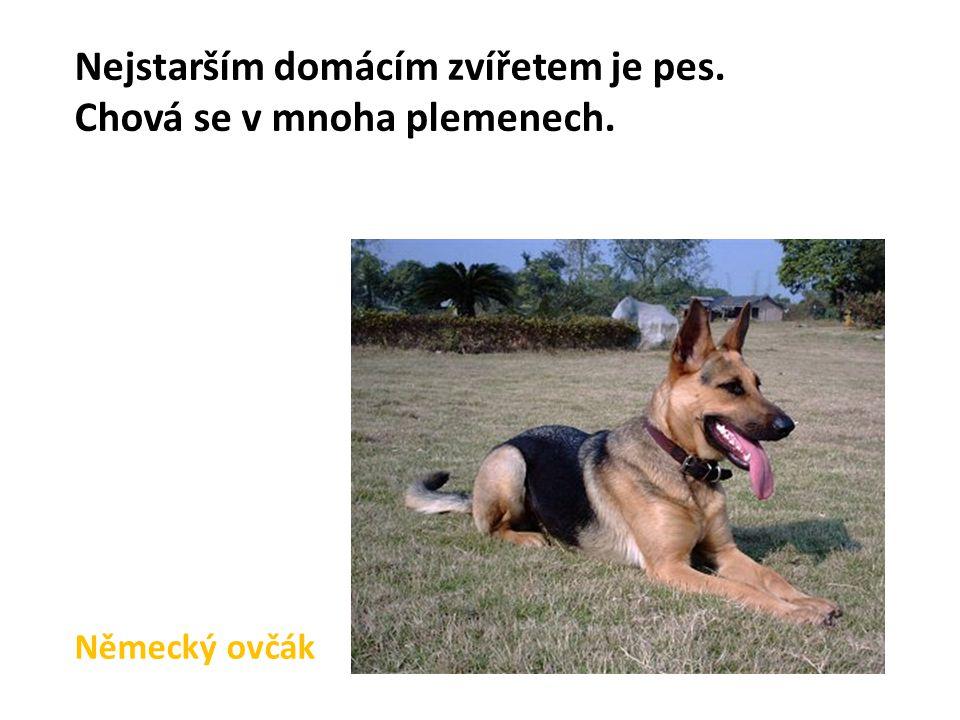 Německý ovčák Nejstarším domácím zvířetem je pes. Chová se v mnoha plemenech.