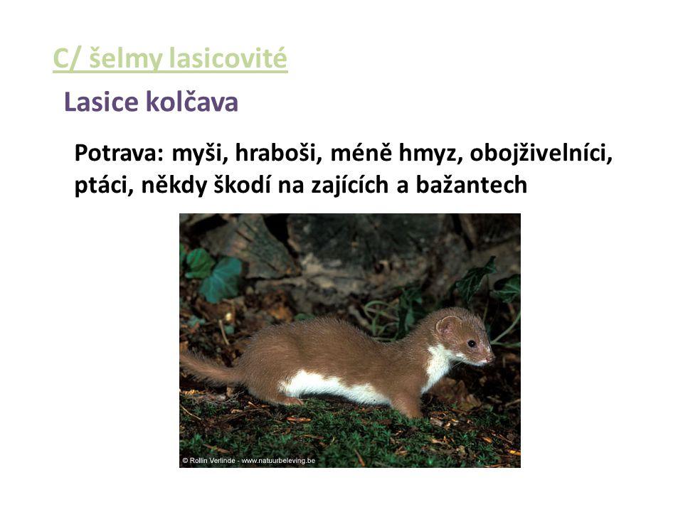C/ šelmy lasicovité Lasice kolčava Potrava: myši, hraboši, méně hmyz, obojživelníci, ptáci, někdy škodí na zajících a bažantech