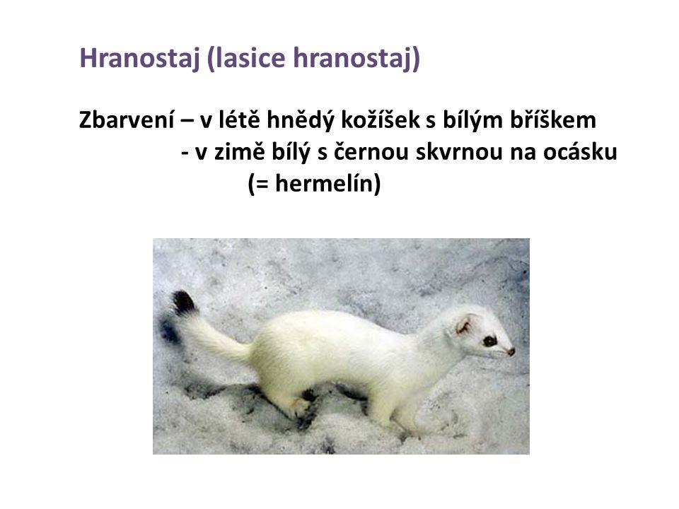 Hranostaj (lasice hranostaj) Zbarvení – v létě hnědý kožíšek s bílým bříškem - v zimě bílý s černou skvrnou na ocásku (= hermelín)
