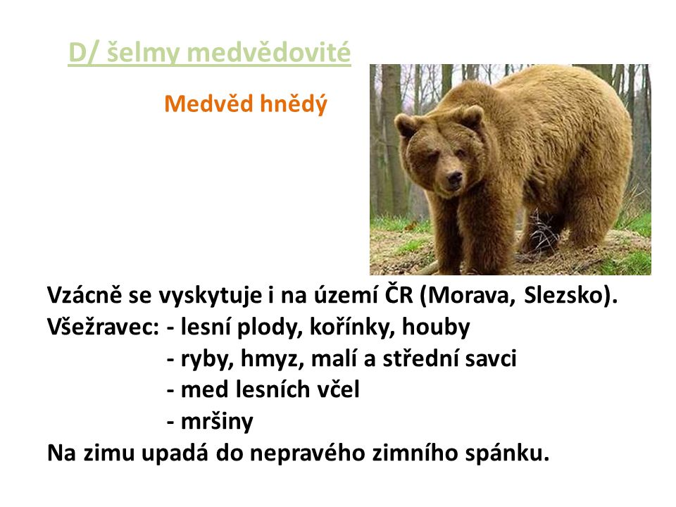 D/ šelmy medvědovité Medvěd hnědý Vzácně se vyskytuje i na území ČR (Morava, Slezsko). Všežravec: - lesní plody, kořínky, houby - ryby, hmyz, malí a s