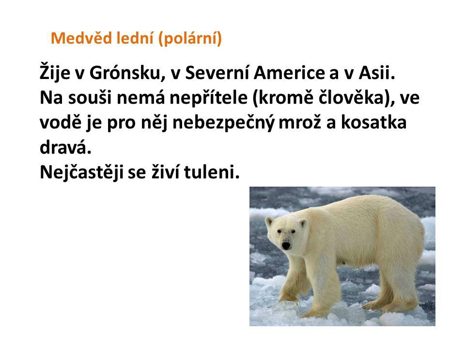 Medvěd lední (polární) Žije v Grónsku, v Severní Americe a v Asii. Na souši nemá nepřítele (kromě člověka), ve vodě je pro něj nebezpečný mrož a kosat