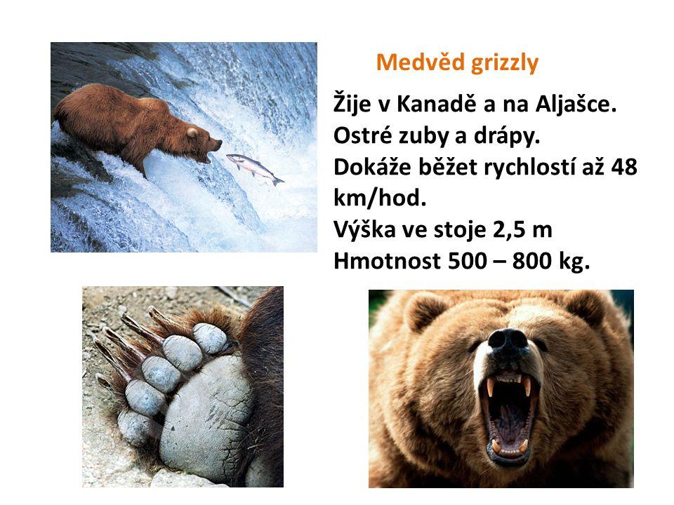 Medvěd grizzly Žije v Kanadě a na Aljašce. Ostré zuby a drápy. Dokáže běžet rychlostí až 48 km/hod. Výška ve stoje 2,5 m Hmotnost 500 – 800 kg.