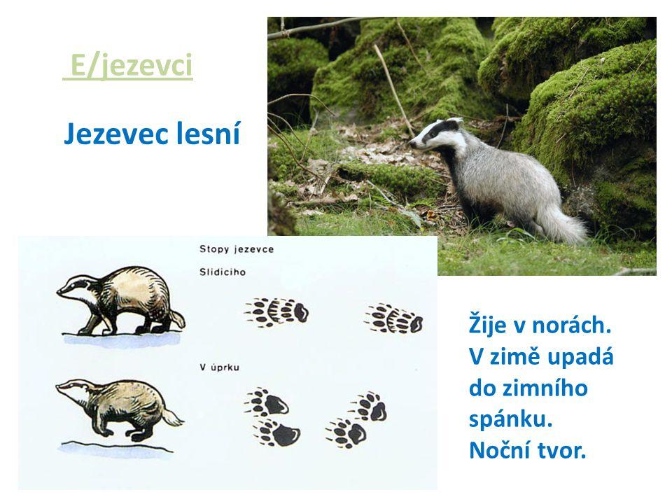 E/jezevci Jezevec lesní Žije v norách. V zimě upadá do zimního spánku. Noční tvor.