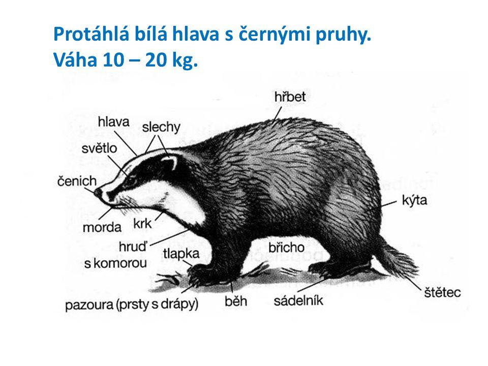 Protáhlá bílá hlava s černými pruhy. Váha 10 – 20 kg.