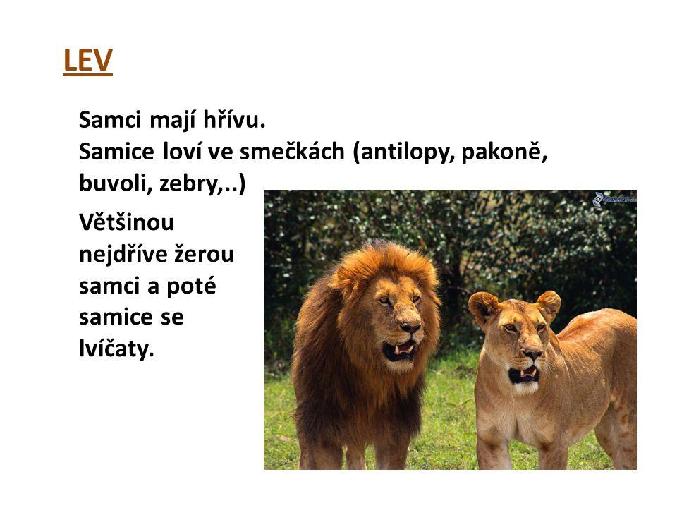 LEV Samci mají hřívu. Samice loví ve smečkách (antilopy, pakoně, buvoli, zebry,..) Většinou nejdříve žerou samci a poté samice se lvíčaty.