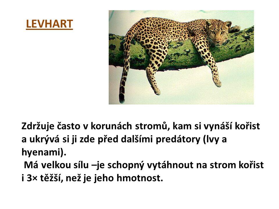 LEVHART Zdržuje často v korunách stromů, kam si vynáší kořist a ukrývá si ji zde před dalšími predátory (lvy a hyenami). Má velkou sílu –je schopný vy