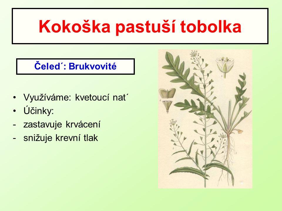 Kokoška pastuší tobolka Využíváme: kvetoucí nat´ Účinky: -zastavuje krvácení -snižuje krevní tlak Čeled´: Brukvovité