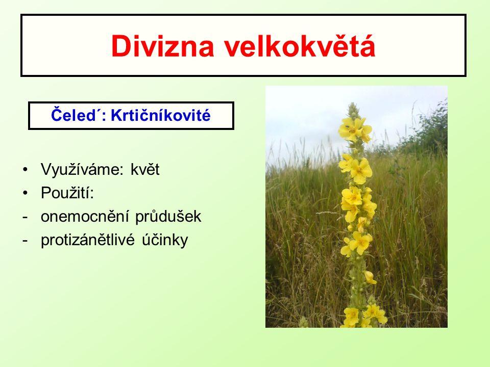 Divizna velkokvětá Využíváme: květ Použití: -onemocnění průdušek -protizánětlivé účinky Čeled´: Krtičníkovité