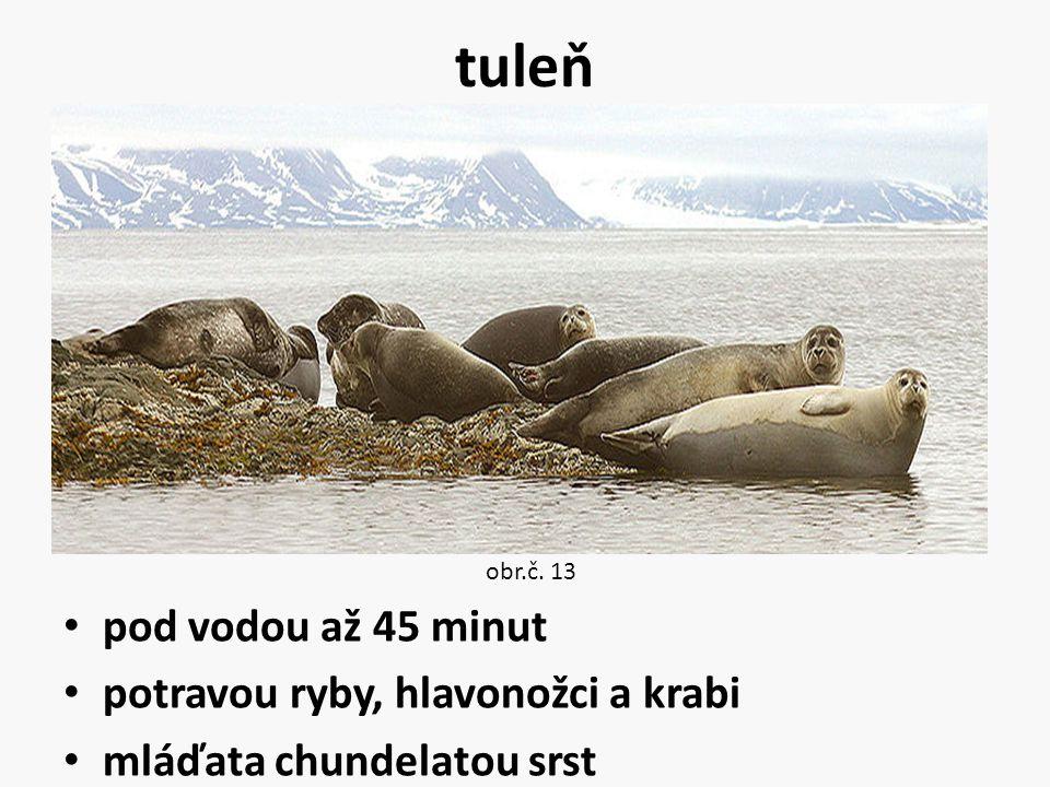 tuleň pod vodou až 45 minut potravou ryby, hlavonožci a krabi mláďata chundelatou srst obr.č. 13