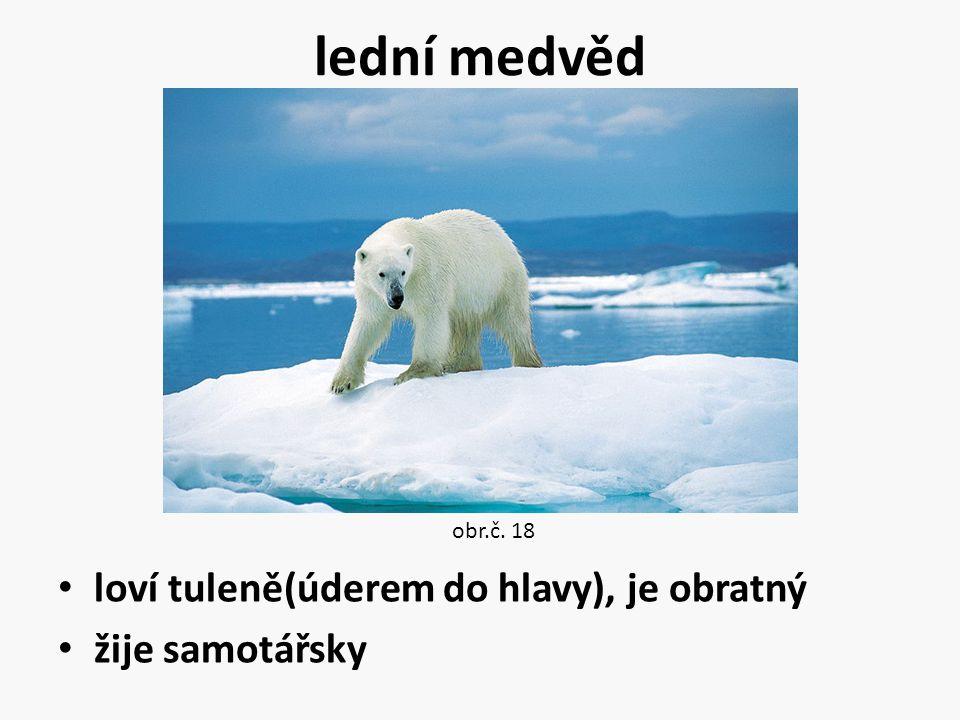 lední medvěd loví tuleně(úderem do hlavy), je obratný žije samotářsky obr.č. 18