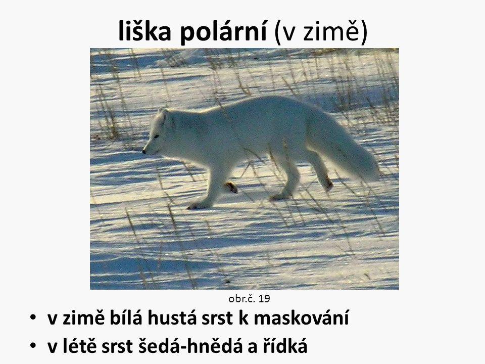 liška polární (v zimě) v zimě bílá hustá srst k maskování v létě srst šedá-hnědá a řídká obr.č. 19