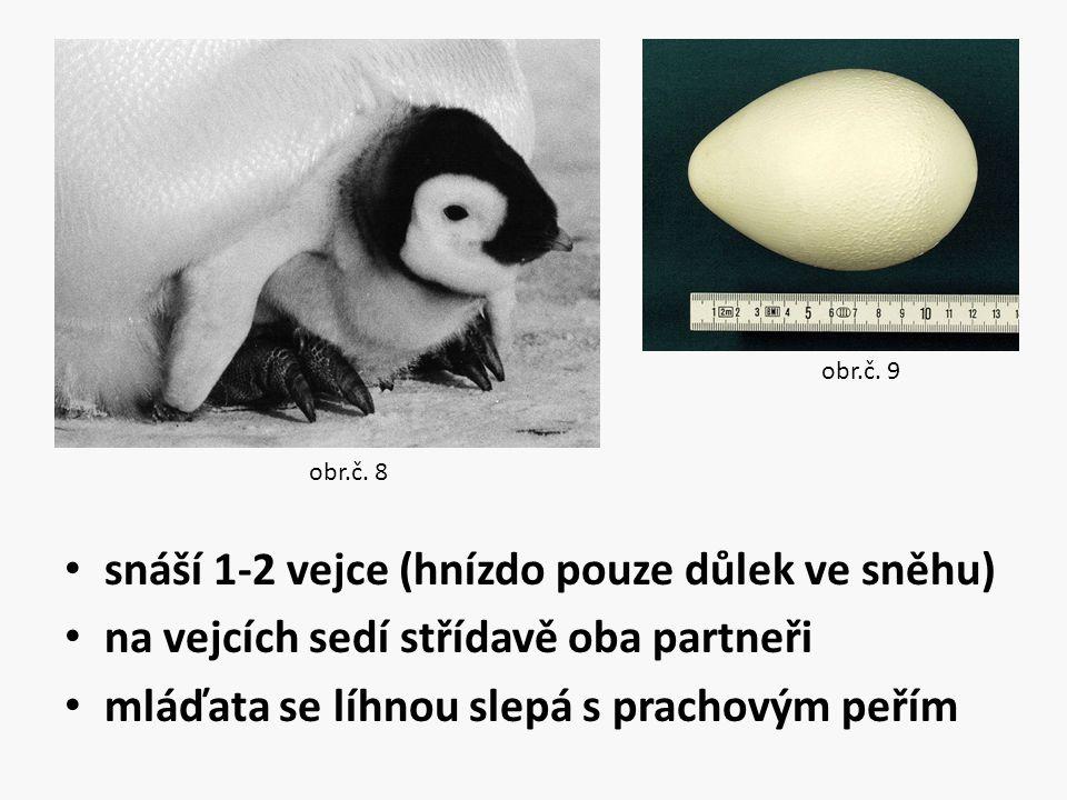 snáší 1-2 vejce (hnízdo pouze důlek ve sněhu) na vejcích sedí střídavě oba partneři mláďata se líhnou slepá s prachovým peřím obr.č. 8 obr.č. 9