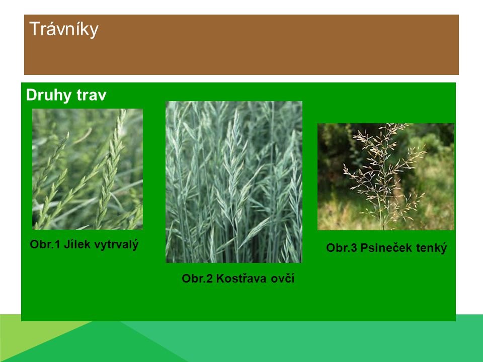 Trávníky Druhy trav Obr.2 Kostřava ovčí Obr.1 Jílek vytrvalý Obr.3 Psineček tenký