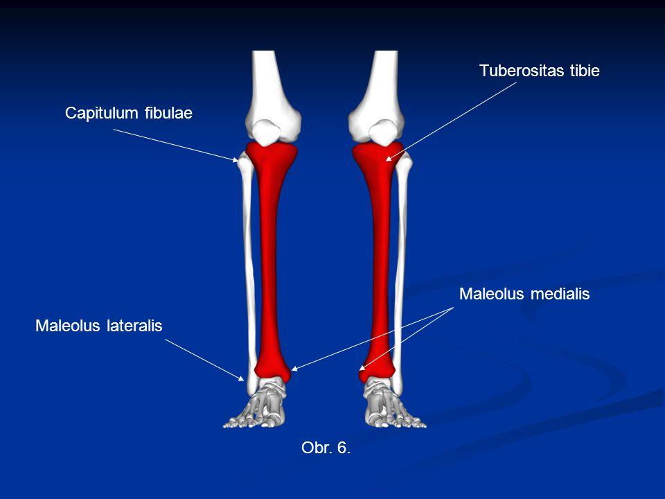 Obr. 6. Capitulum fibulae Tuberositas tibie Maleolus lateralis Maleolus medialis