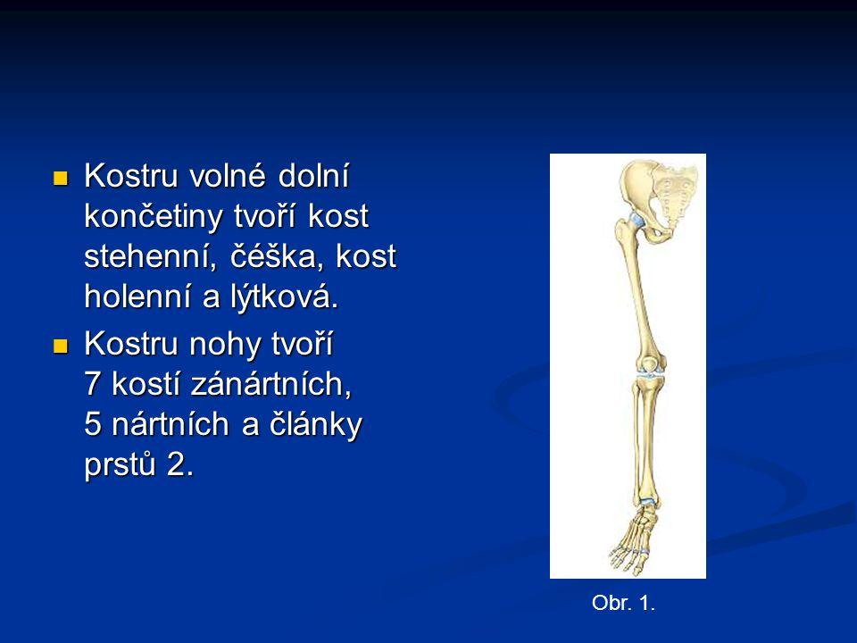 Kostru volné dolní končetiny tvoří kost stehenní, čéška, kost holenní a lýtková. Kostru volné dolní končetiny tvoří kost stehenní, čéška, kost holenní