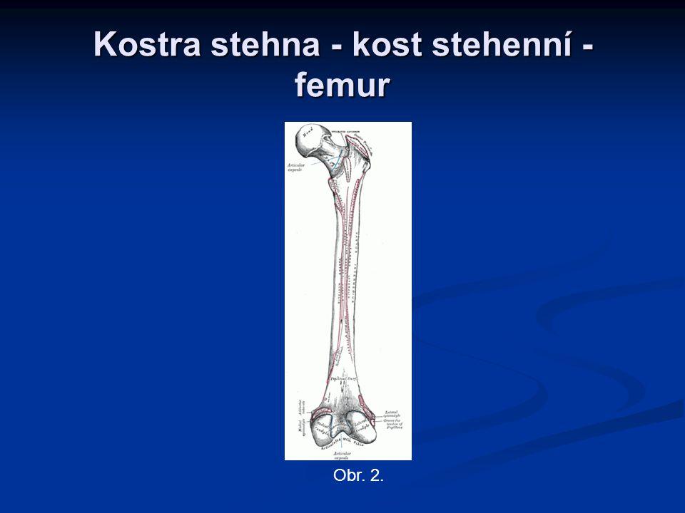 Kostra stehna – kost stehenní Kost stehenní – femur.