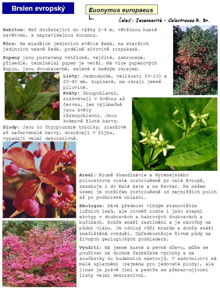 Brslen evropský Euonymus europaeus L. Čeleď: Jesencovité – Celastracae R. Br. Listy: Jednoduché, velikosti 50-100 x 20-40 mm, kopinaté, na okraji jemn