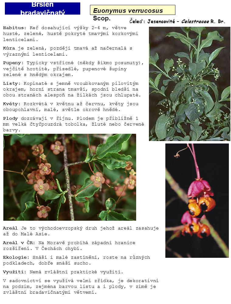 Brslen bradavičnatý Euonymus verrucosus Scop. Habitus: Keř dosahující výšky 2-4 m, větve husté, zelené, hustě pokryté tmavými korkovými lenticelami. K