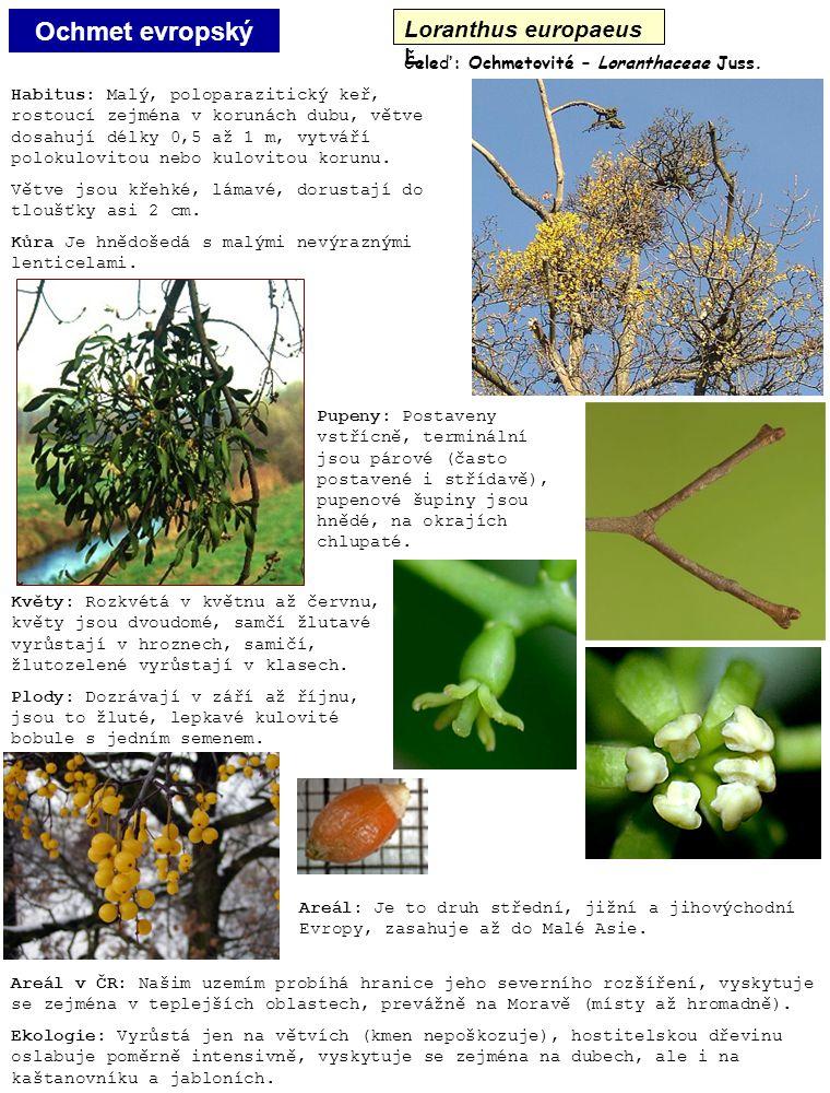 Ochmet evropský Loranthus europaeus L. Habitus: Malý, poloparazitický keř, rostoucí zejména v korunách dubu, větve dosahují délky 0,5 až 1 m, vytváří